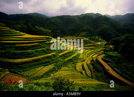 Longsheng terraces with ripened rice in late summer in Guangxi China - Stock Photo