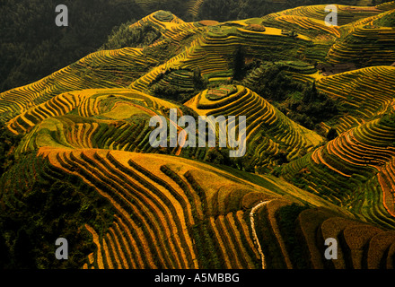 Longsheng terraces with ripened rice in late summer - Stock Photo