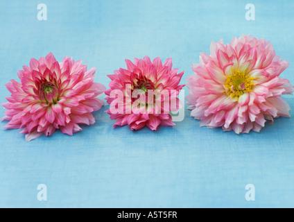 Three dahlia flowers - Stock Photo