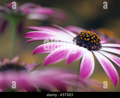 OSTEOSPERMUM SILVIA or African Daisy differentially focused on centre of pink and white flower with other flowers - Stock Photo