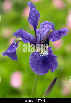 Close up of Iris shot against a natural green backcground - Stock Photo