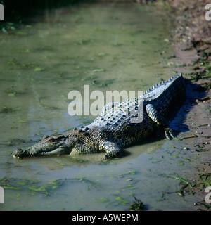 Saltwater Crocodile  - Stock Photo