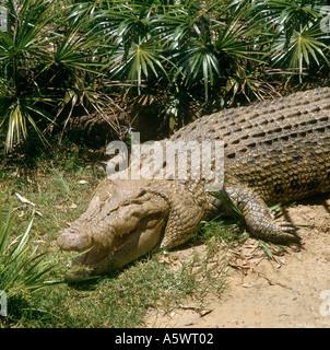 Saltwater Crocodile (Crocodylus porosus), Kakadu National Park Northern Territory Australia - Stock Photo
