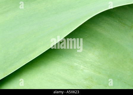 Green Leaves of the Tulip Plant, Close Up. - Stock Photo
