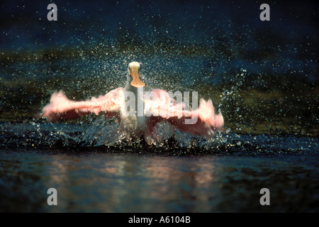 Roseate Spoonbill Stretching Wings Ding Darling FLORIDA - Stock Photo