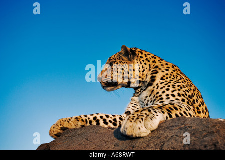 Leopard Panthera pardus on rock Looking out over landscape of Namibia - Stock Photo