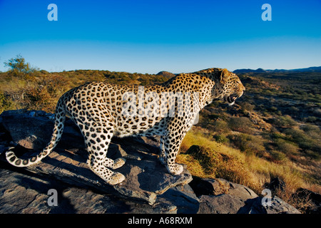 Leopard Panthera pardus Looking out over landscape of Namibia - Stock Photo
