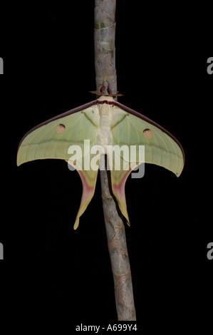 Indian Moon Moth - Actias selene - Stockfoto