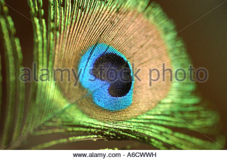 Close-up of a peacock feather - Stock Photo