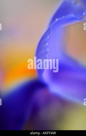 Blue Iris in the garden - Stock Photo