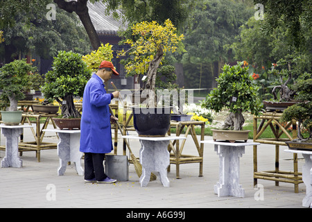 CHINA BEIJING Chinese park worker carefully cleaning around a display of ancient Bonsai trees in the center of Jingshan - Stock Photo