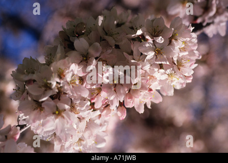 New York City Central Park Crabapple Tree Blossoms in the Spring USA - Stock Photo