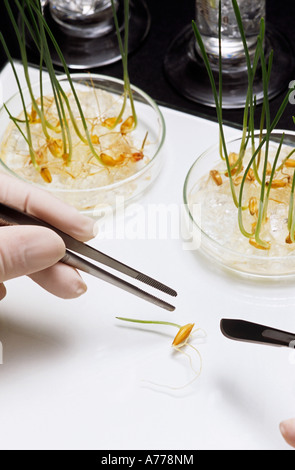 Person picking up bean sprout with tweezers, close-up of bean sprout - Stock Photo