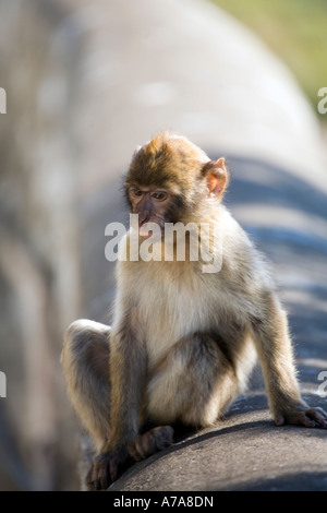 Young Gibraltar Ape sitting on a wall deep in thought - Stock Photo