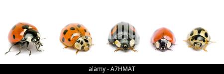 Ladybirds - Stockfoto