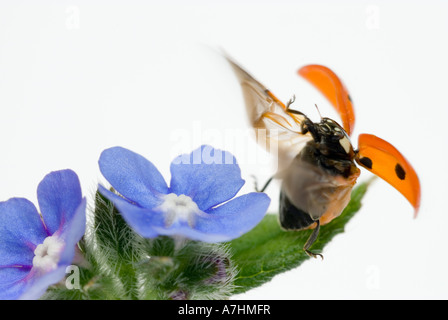 7-spot ladybird Seven spot Ladybird in flight Coccinella septempunctata or Coccinella 7-punctata - Stockfoto
