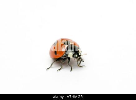 Seven-spot Ladybird Coccinella septempunctata or Coccinella 7-punctata - Stockfoto