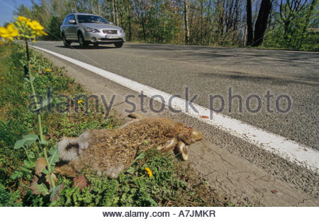 Hare killed by car - Stock Photo
