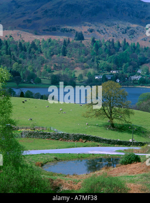 Solitary oak tree (Quercus) in a field in spring, north end of Grasmere Lake, District National Park, Cumbria, England, - Stock Photo
