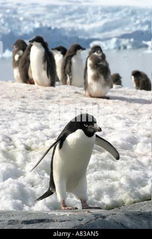 Gentoo penguins on Peterman Island,Antarctic Peninsular. - Stock Photo