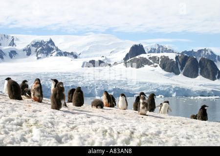 Largest Gentoo  penguin colony in Antarctica  on Peterman Island,Antarctic Peninsular. - Stock Photo