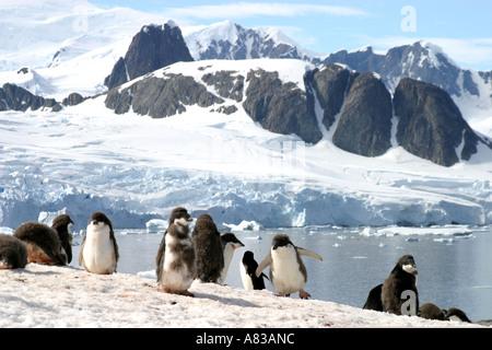Gentoo penguins in the Antarctic Peninsular - Stock Photo