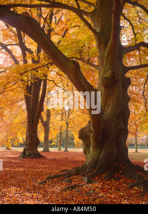 Autumn beeches at Two Mile Bottom in Thetford Forest Norfolk England UK - Stock Photo