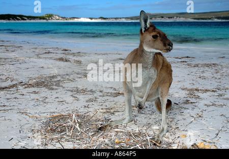 Western grey kangaroo Macropus fuliginosus on the beach at Lucky Bay - Stock Photo