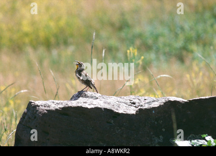 Western meadowlark singing in the grasslands of the Black Hills South Dakota - Stock Photo