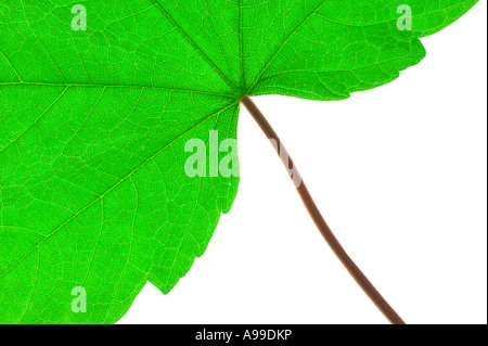 Green leaf and stem macro against a white background - Stock Photo