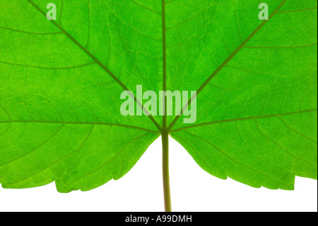 Macro shot of a green leaf with stem - Stock Photo