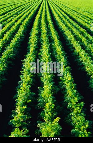 Agriculture - Rows of healthy mature carrots in the field / near Portage la Prairie, Manitoba, Canada. - Stock Photo