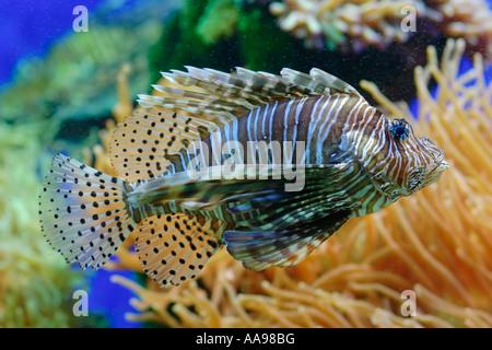 Lionfish in aquarium - Stock Photo