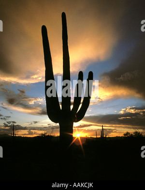 Saguaro cactus silhouetted against the setting sun Saguaro National Park, Tucson Arizona - Stock Photo