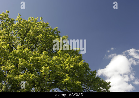 Vivid green oak leaves and bright blue sky on summer day - Stock Photo