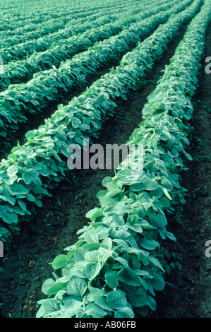 Rows of soybeans growing in Illinois - Stock Photo