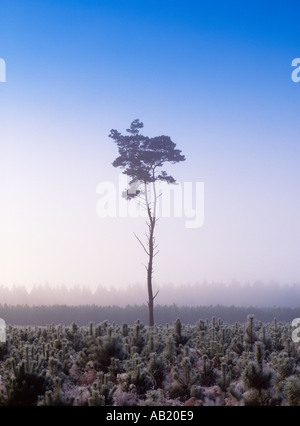 Pine tree in Thetford Forest Norfolk England UK - Stock Photo