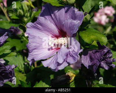 blue hibiscus hibiscus syriacus 39 blue bird 39 malvaceae. Black Bedroom Furniture Sets. Home Design Ideas
