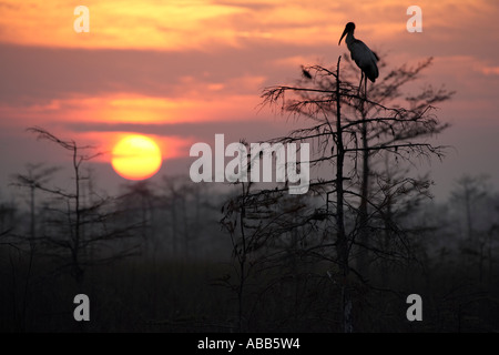 Sunrise over the swamp in the silhouettes of trees woodstork and birds Everglades National Park Florida - Stock Photo