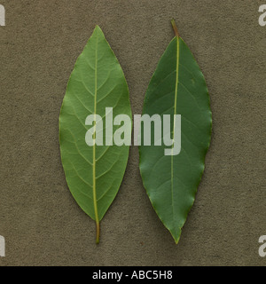 Fresh bay leaves laurel green spice herb cutout white stock photo royalty free image - Cook bay leaves ...