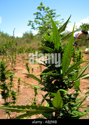 Marijuana plantation Negril Jamaica - Stock Photo