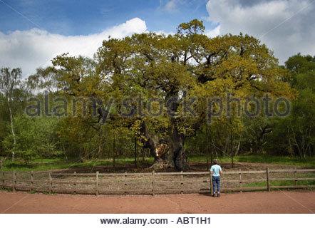 The Major Oak, Near Edwinstowe, Sherwood Forest. May in England - Stock Photo