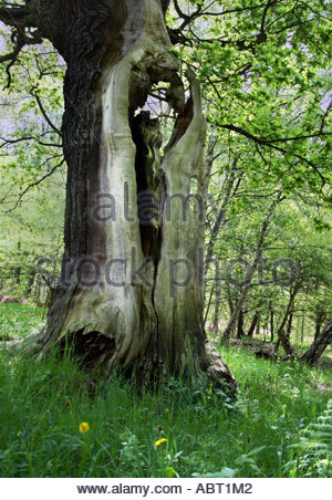 old oak tree in Sherwood Forest, England in May - Stock Photo