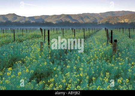 Morning light over vineyard and mustard Napa Valley California - Stockfoto