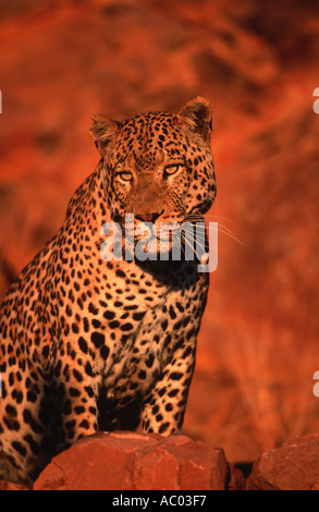 Leopard Panthera pardus Largest of Africa  spotted cats Namibia Africa - Stock Photo