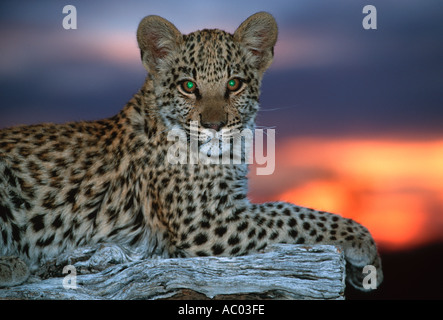 Leopard Panthera pardus Cub Namibia Africa to Far East South East Asia - Stock Photo