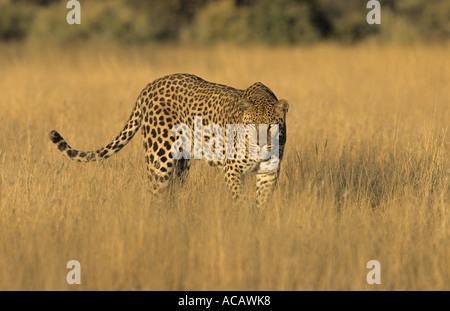 Leopard Panthera pardus male Harnas Namibia - Stock Photo