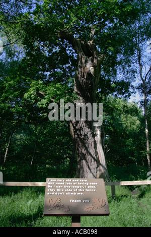 An oak tree in Sherwood Forest Nottinghamshire - Stock Photo