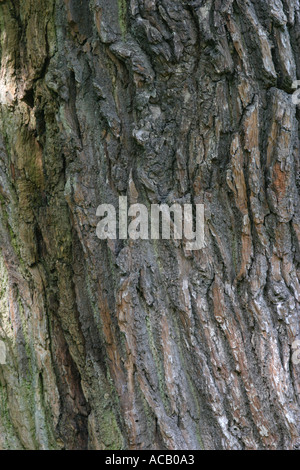The bark of a tree in Sherwood Forest Nottinghamshire - Stock Photo