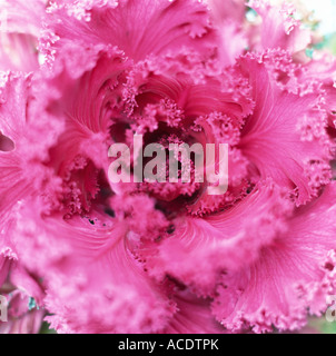 Red flowering kale close-up. - Stock Photo